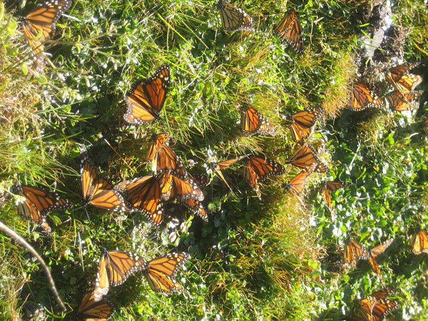 monarch-butterflies