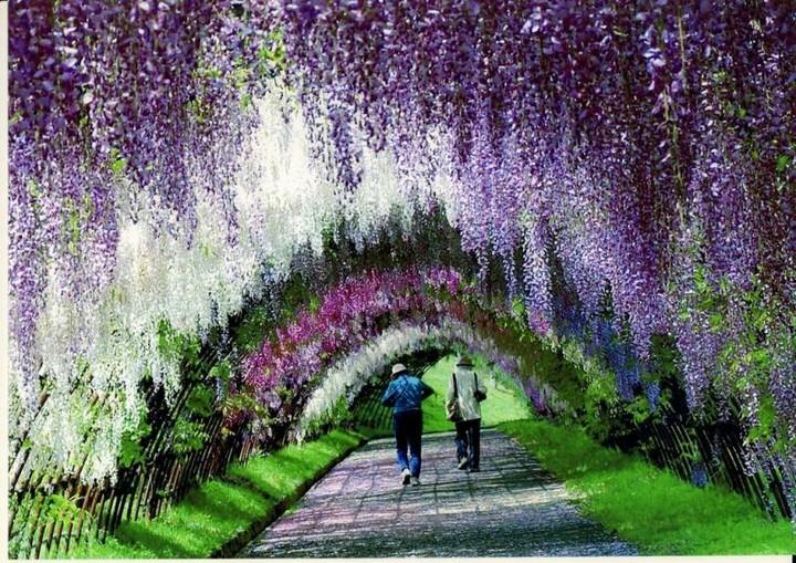 Wisteria Tunnel, Kawachi Fuji Garden (5)
