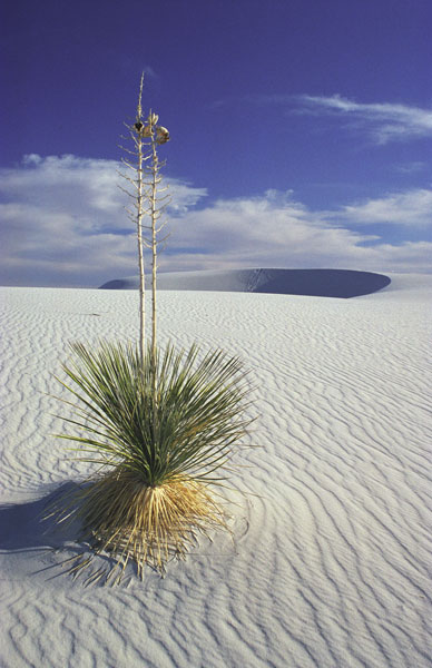 14-white-sands-yucca
