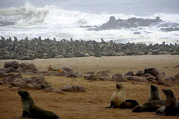 namibia_seal_pictures