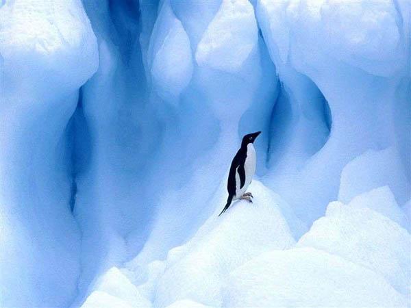 800-Adelie_Penguin,_South_Shetland_Islands,_Antarctic_Peninsula