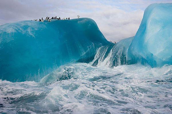 Adelie Penguins Surfing