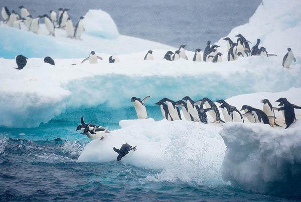 Adelie Penguins iceberg