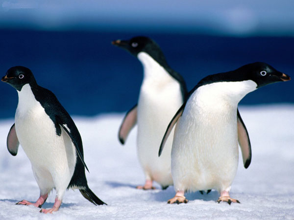 Directions_Adelie_Penguins
