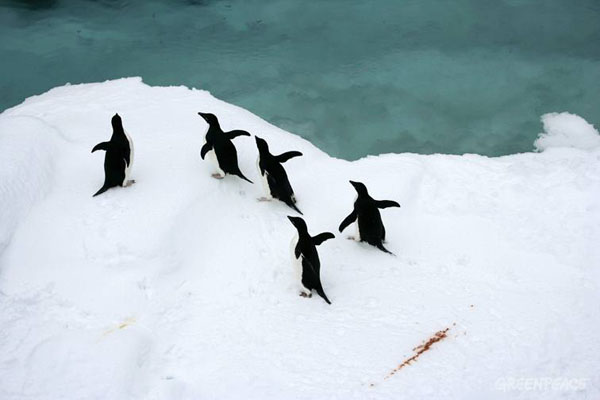 adelie-penguins-in-the-souther