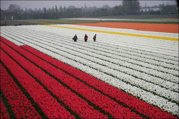 tulips Holland Tourism on the edgee04