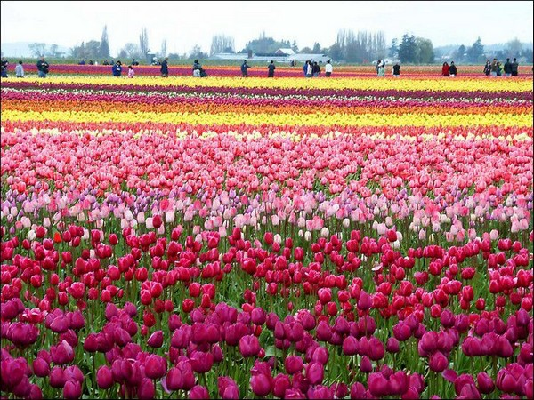 tulips Holland Tourism on the edgee06