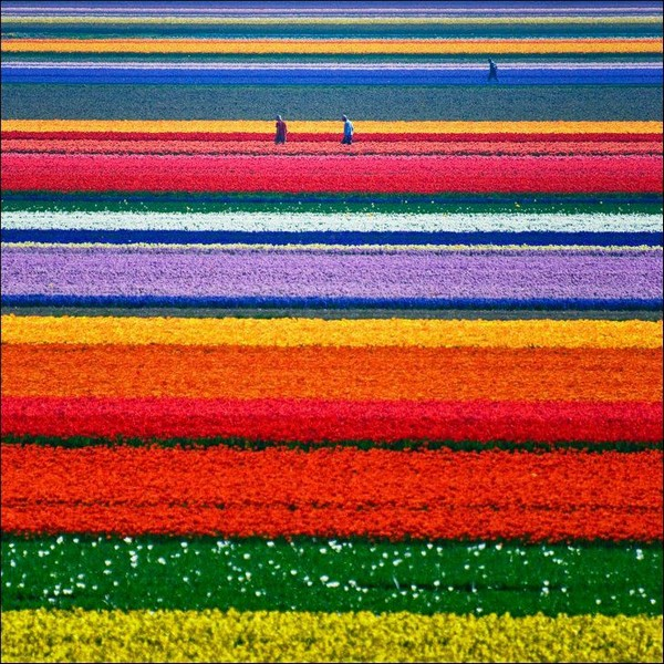 tulips Holland Tourism on the edgee08