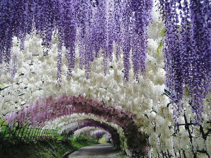 A Colorful Walk Wisteria Tunnel At Kawachi Fuji Gardens Japan