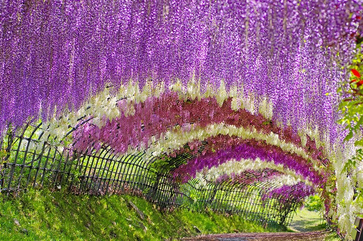 Wisteria Tunnel, Kawachi Fuji Garden (9)