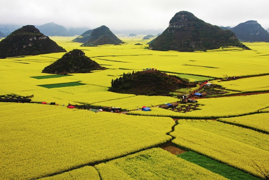 Golden sea of canola flowers in luoping china mightylinksfo