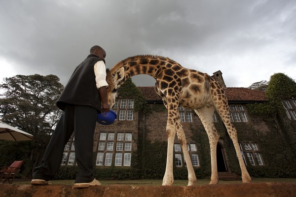 Giraffe Manor hotel feeding giraffes