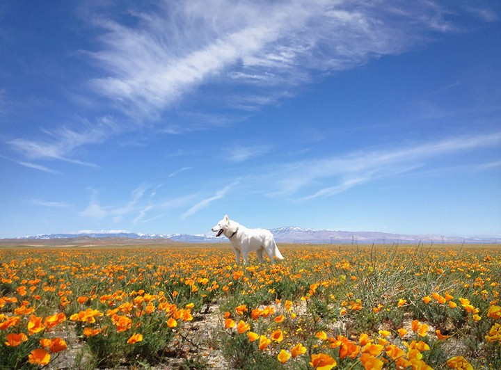 Antelope Valley Poppy Preserve, CA