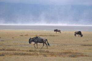 Wildebeests (gnus)