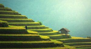 Myanmar rice fields