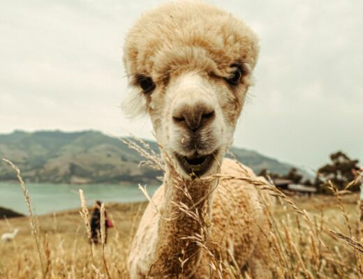 New Zealand sgeep