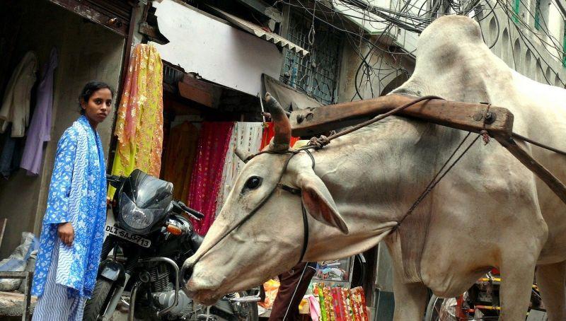 Delhi India cow